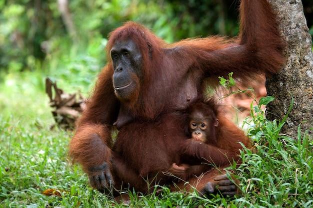 Vrouwtje van de orang-oetan met een baby op de grond. indonesië. het eiland kalimantan (borneo).
