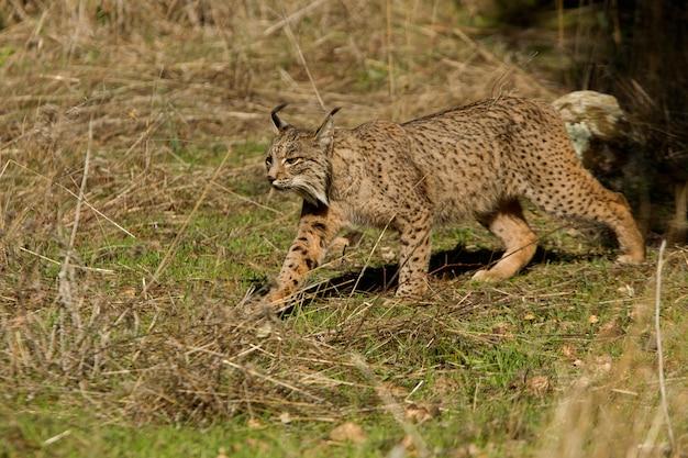 Vrouwtje van iberische lynx in de mistige, bobcat, wilde kat, lynx pardinus, lynx