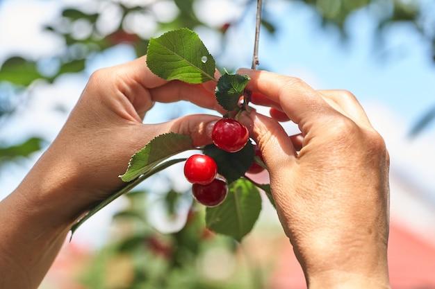 Vrouwtjes die kersen met de hand plukken van een filiaal in de tuin
