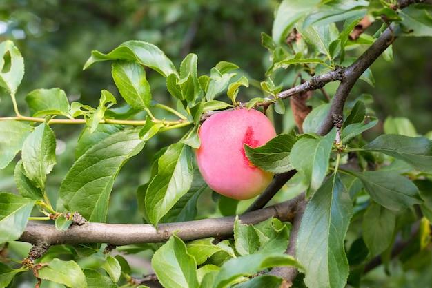 Vruchten van een volwassen paarse pruim op een boomtak in een tuin close-up