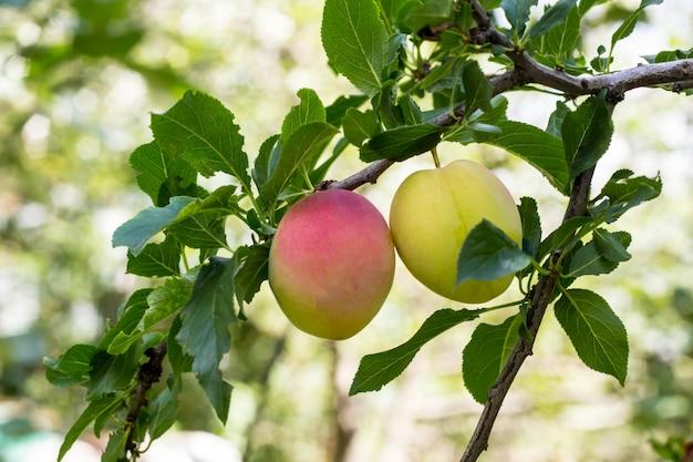 Vruchten van een volwassen paarse pruim op een boomtak in een tuinclose-up