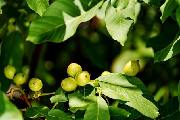 Vruchten van een walnoot op een tak van een boom met groene bladeren in de zomer.