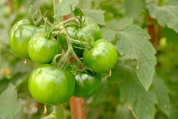 Vruchten van groene tomaat die op een tak in een serre hangen