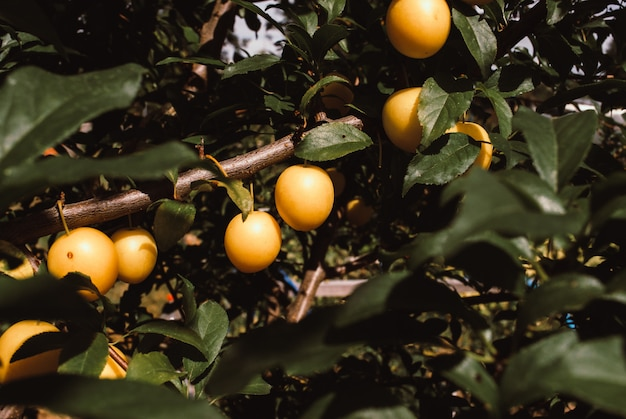 Vruchten van kers-pruim op boom.