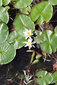 Vuil stilstaand water met groene bladeren en bloeiende witte waterlelies, close-up bovenop