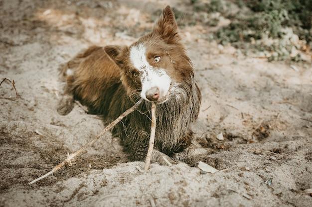 Vuile border collie-hond die met een stok op zand speelt