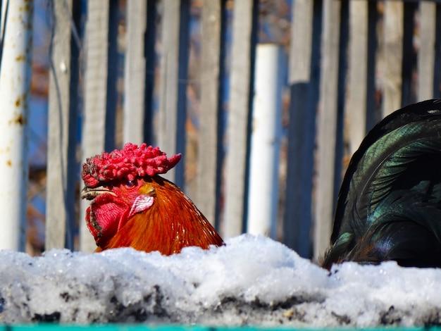 Vuile dorpshaan hanen kop van achter het hek