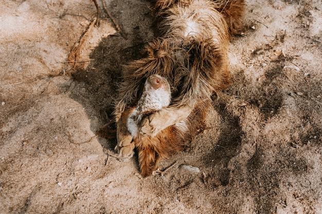 Vuile en schuldige border collie-hond die zich zonder problemen wentelt in het zomerseizoen.