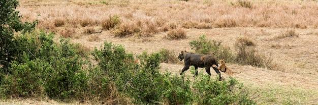 Vuile leeuwin die met zijn welp loopt, serengeti, tanzania, afrika