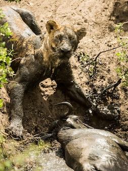 Vuile leeuwin die naast zijn prooi ligt, serengeti, tanzania, afrika