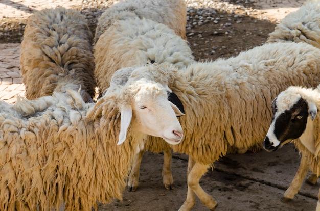 Vuile schapen in de kooi