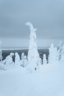 Vuren bomen vallende sneeuw in het riisitunturi national park, finland