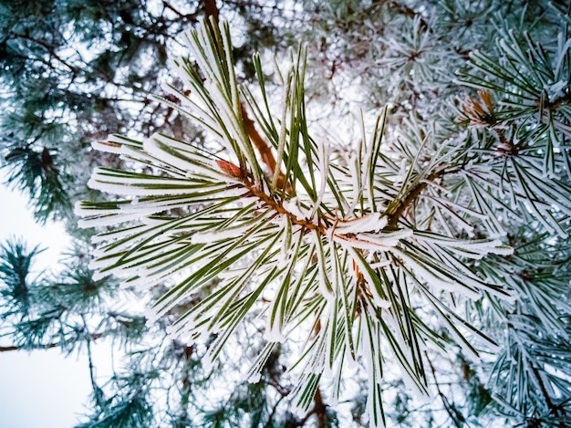 Vuren groene naalden op een dennentak bedekt met vorst en sneeuw close-up winter naaldbos