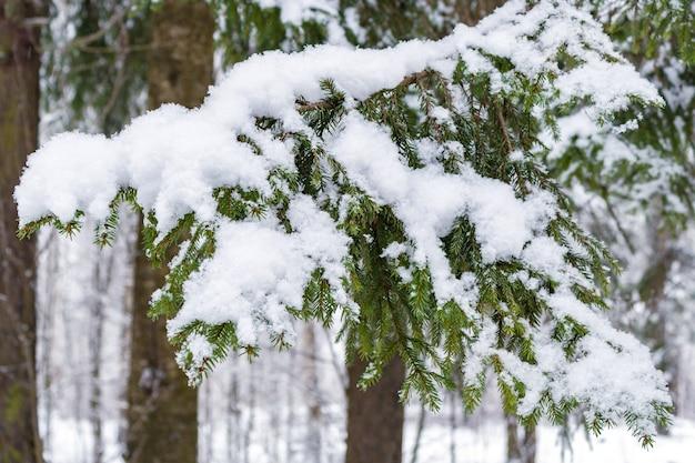 Vuren tak bedekt met sneeuw in de winter woud