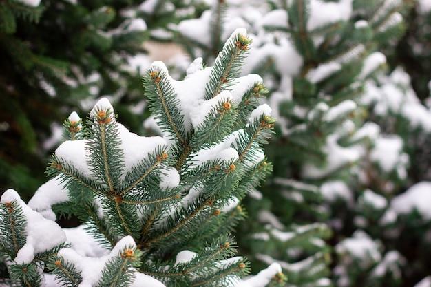 Vuren takken onder de sneeuw. kerstboom onder de sneeuw, natuurlijke winter
