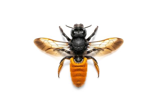 Vuurstaartharsbij geïsoleerd. dier. insect.