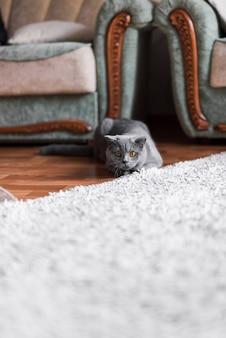 Waakzame grijze britse shorthairkat die op houten vloer liggen