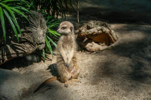 Waakzame meerkat staande wacht uitkijk voor roofdieren