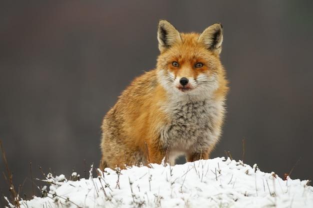 Waakzame rode vos die in de winter op een weide kijkt