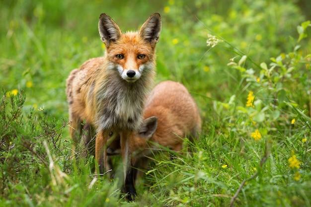 Waakzame rode vos gerichte camera met haar welp voeden in de zomer de natuur