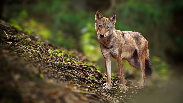 Waakzame wolf die camera in de zomerbos onder ogen zien.