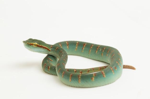 Wagler's pitadder slang