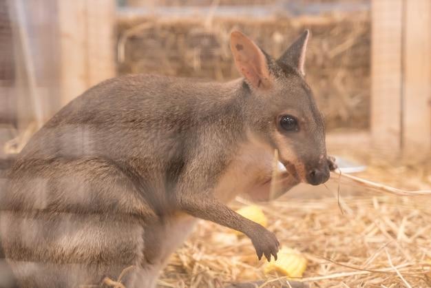 Wallaby of mini kangoeroe