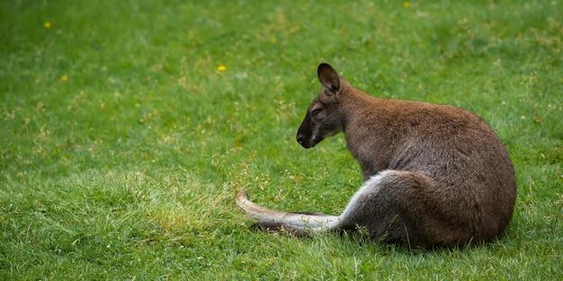 Wallaby op het gras