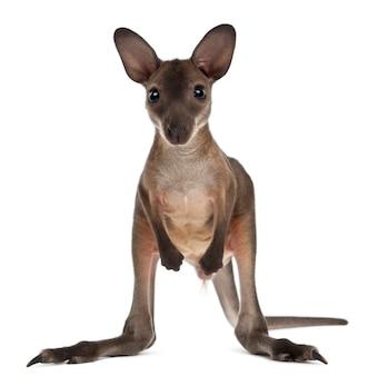 Wallaby op wit wordt geïsoleerd dat