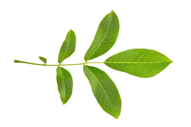 Walnut tree groen blad geïsoleerd op wit