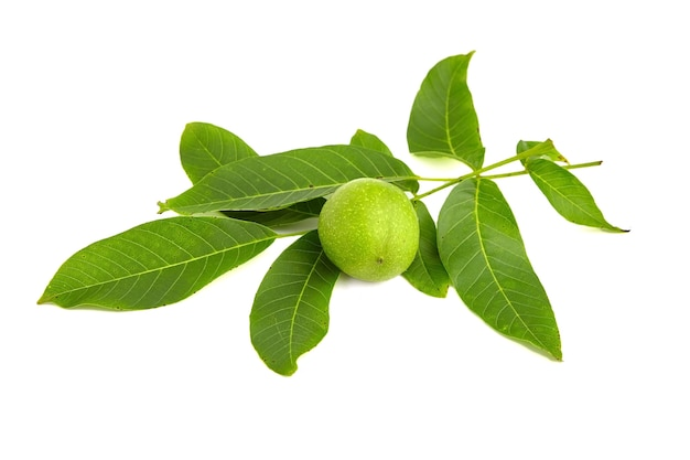 Walnut tree groene tak met moer en bladeren geïsoleerd op wit
