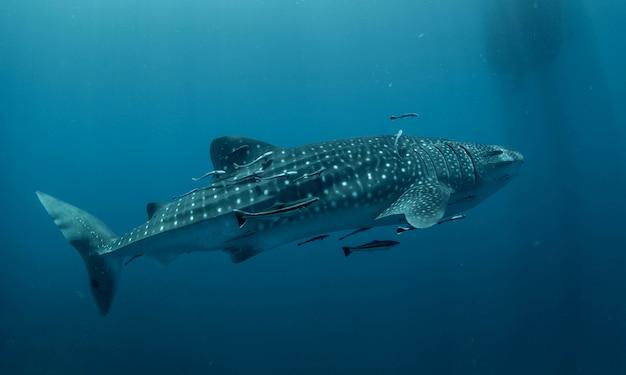 Walvis haai