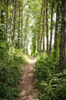 Wandelpad in de zomer bos