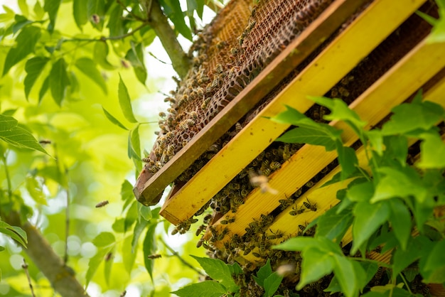 Was honingraten met honing en veel bijen erop. bijenteelt op een warm seizoen van het jaar, bijenstal in de tuin.