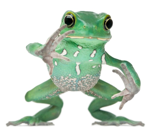 Wasachtig aap leaf frog phyllomedusa sauvagii hoppen voor witte achtergrond