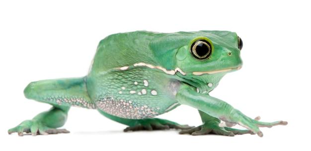 Wasachtige monkey leaf frog phyllomedusa sauvagii voor witte achtergrond