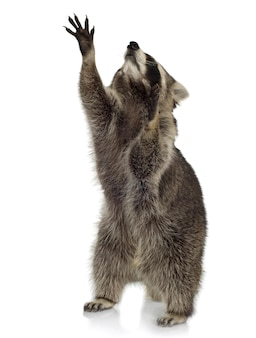 Wasbeer (9 maanden) - procyon-lotor geïsoleerd