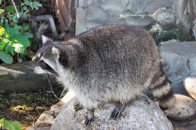 Wasbeer op steen
