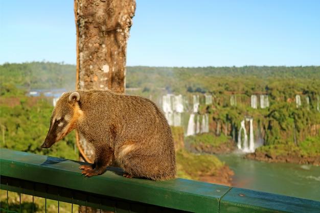 Wasbeerachtige wezens genaamd coati gevonden in iguazu falls national park, brazilië