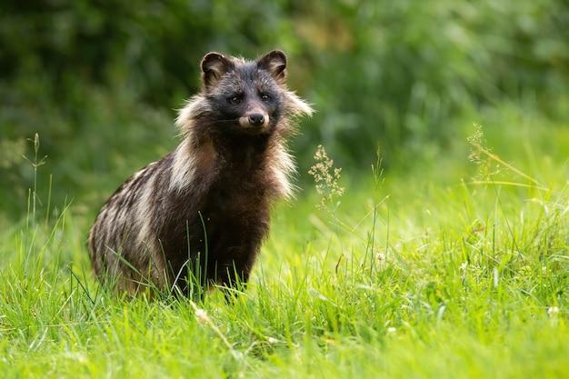 Wasbeerhond die zich op grasland in de zomeraard bevindt