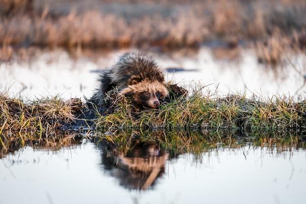 Wasbeerhond op een hummus op een moeras