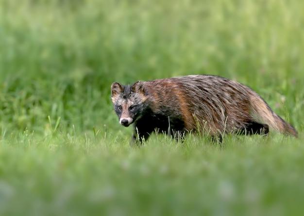 Wasbeerhonden (nyctereutes procenoides) lopen over de grond op zoek naar voedsel
