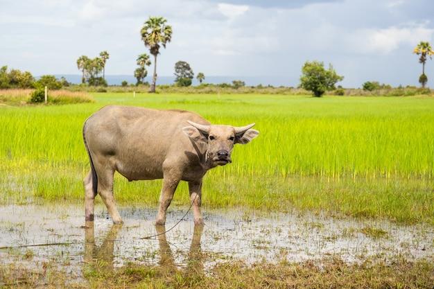 Waterbuffel in een natte rijstvelden in levendige kleuren.