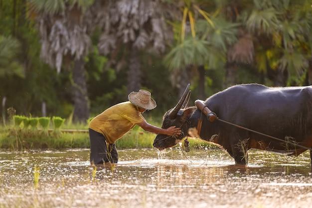 Waterbuffel, menigtebuffel en boer tijdens zonsondergang, binnenlandse waterbuffel lokale aziatische buffel bubalus bubalis van thailand