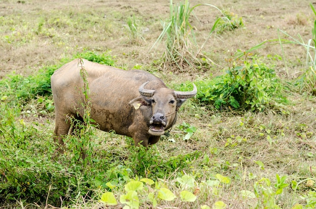 Waterbuffel of binnenlandse aziatische waterbuffel