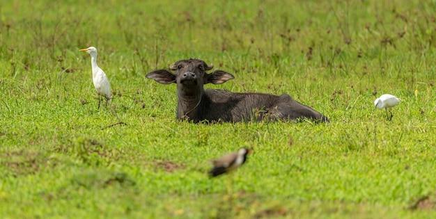 Waterbuffel tot op de grond in rijstveld omgeven door witte zilverreigers