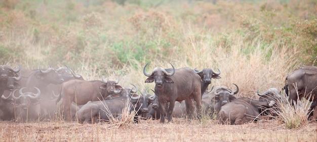Waterbuffel wildlife in kenia