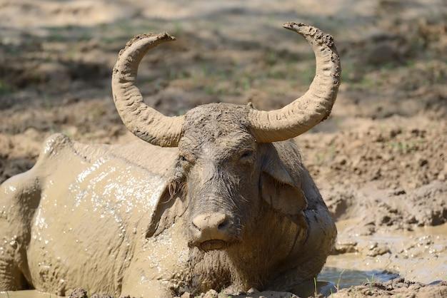 Waterbuffels baden in een meer