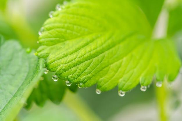 Waterdauw op een groen aardbeiblad in een organisch landbouwbedrijf.