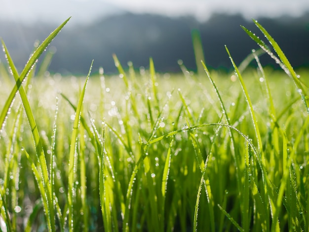 Waterdruppels op groen gras blad in de ochtend met vervagen bokeh